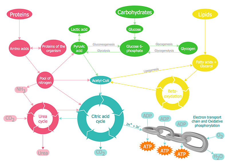 metabolism chain diagram