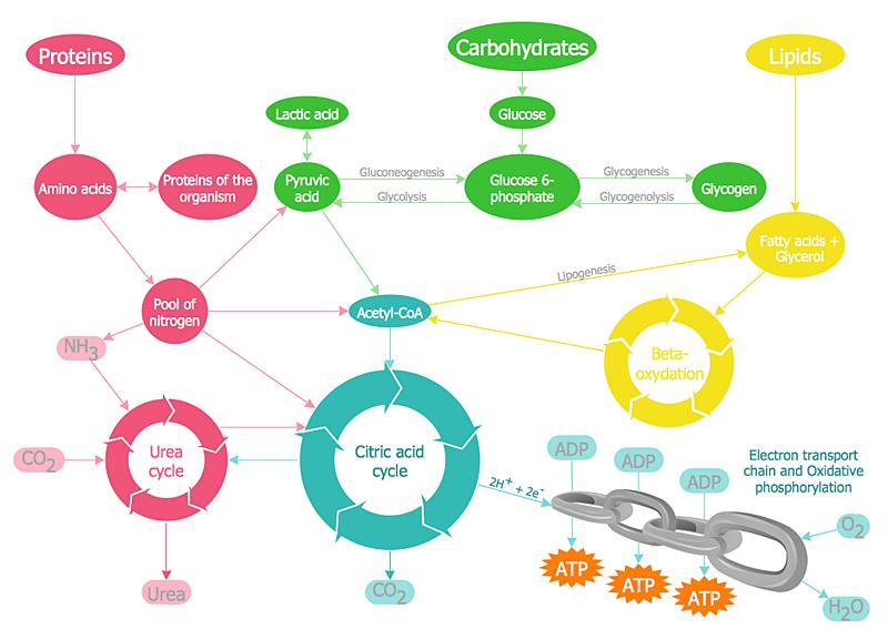 metabolism chain diagram