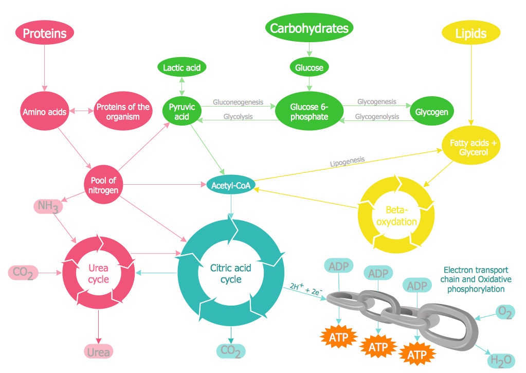 Biology Illustration – Biochemical Pathway Map Key Metabolic Processes