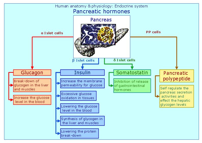 Excelente Anatomy And Physiology Of Pancreas Ornamento - Anatomía de ...