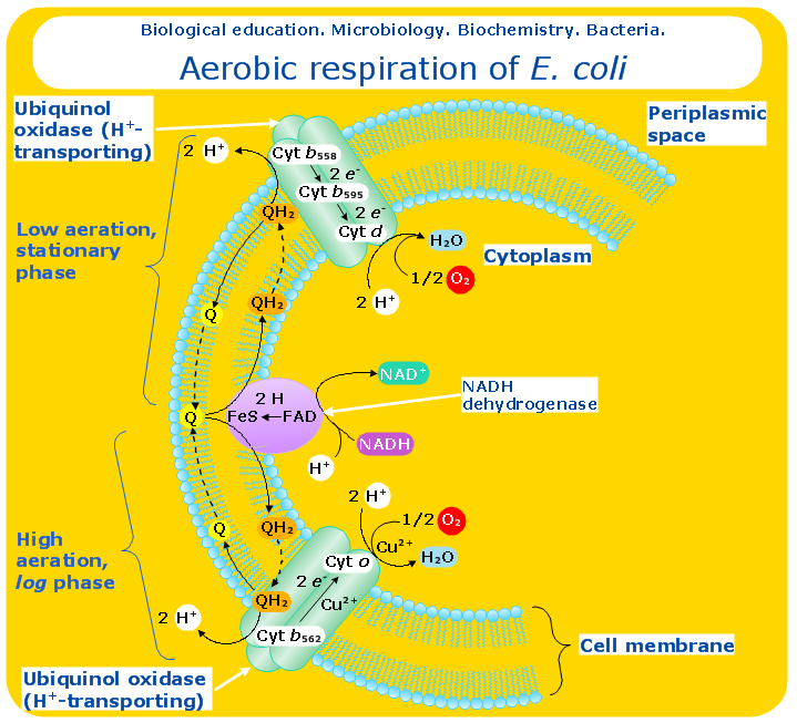 Education-Biology-Aerobic-respiration-E-coli Cell Structure Concept Map on inquiry concept map, inheritance concept map, cytoplasm concept map, cell structure analogy, cell reproduction concept map, neurotransmitters concept map, cell parts concept map, cell division concept map, cell metabolism concept map, cell concept map key, bones concept map, cell membrane concept map, cell concept map answers, cell structure rubric, cellular respiration concept map, cell cycle concept map, endocytosis concept map, cell structure graphic organizer, gene regulation concept map, archaea concept map,