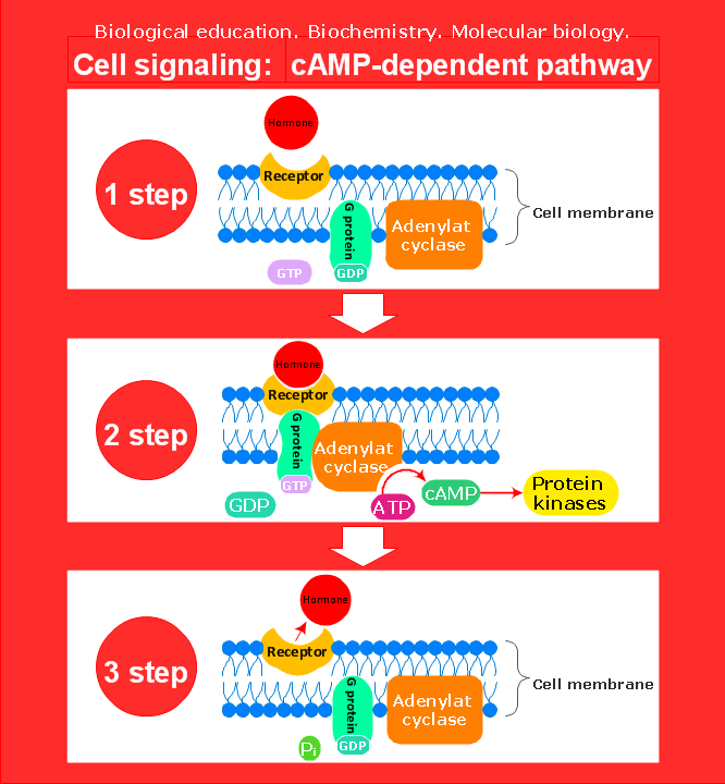 Conceptdraw samples science and education biology sample 2 cell signaling camp dependent pathway ccuart Image collections