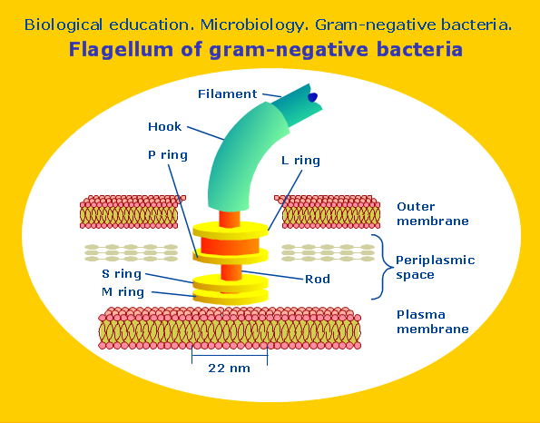 Conceptdraw samples science and education biology sample 8 microbiology flagellum of gram negative bacteria microbiological diagram ccuart Image collections