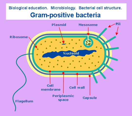 conceptdraw samples   science and education   biologysample    microbiology   gram positive bacteria  microbiological diagram