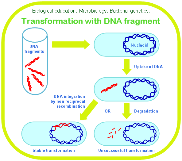 a research on the occurrence of genetic transformation in bacteria ecoli Bacterial conjugation is the transfer of genetic material between bacterial cells by e coli the transfer of the entire bacterial occurrence, and since the.
