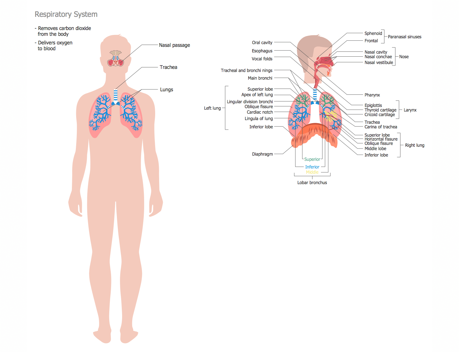 Dorable Carina Lung Anatomy Composition - Physiology Of Human Body ...