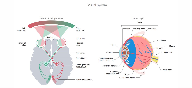 Fine Visual System Anatomy Elaboration - Anatomy Ideas - yunoki.info