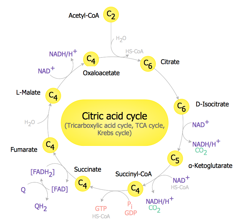 Biology Drawing - TCA Cycle