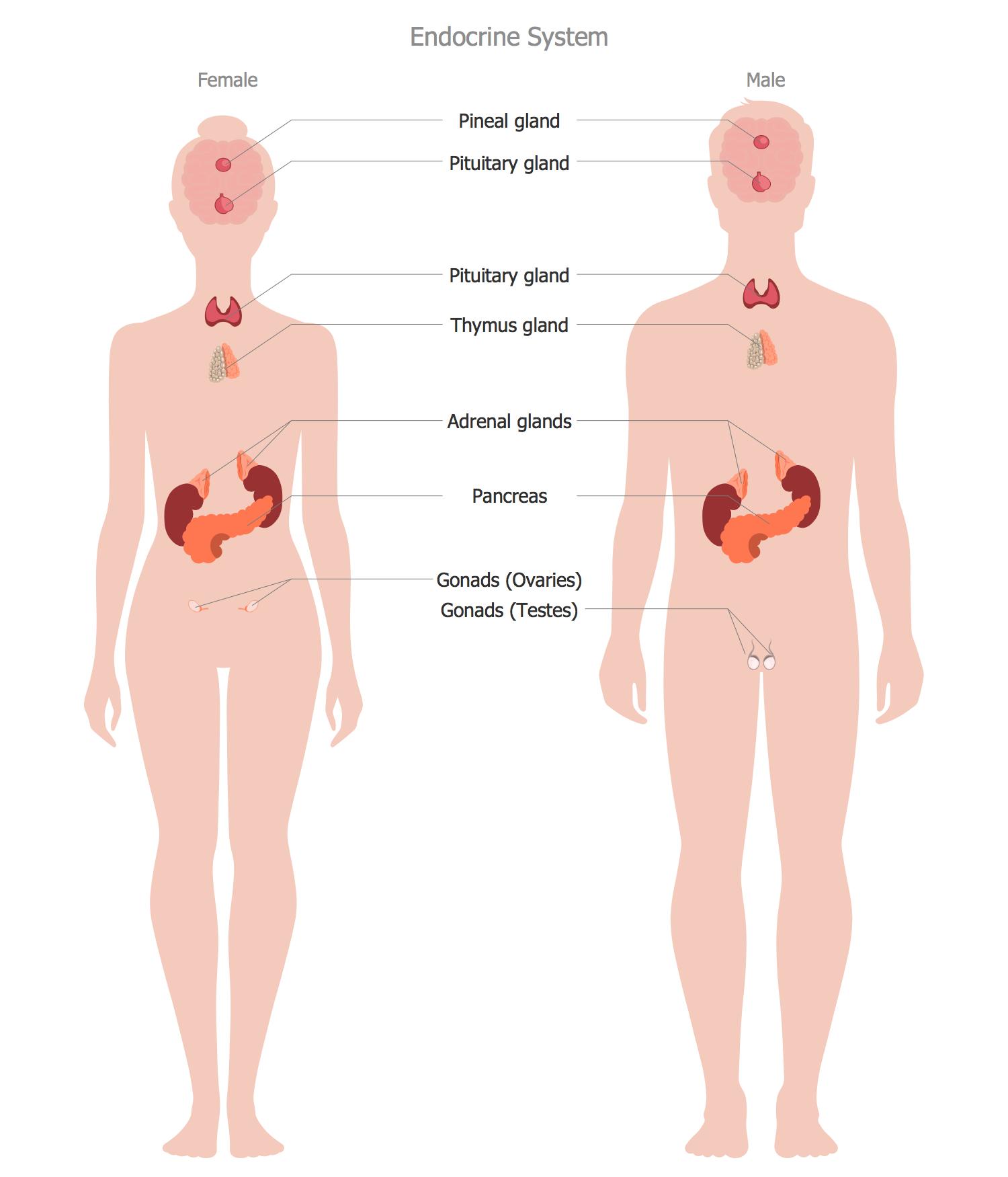 Human Anatomy Endocrine System Images - human body anatomy