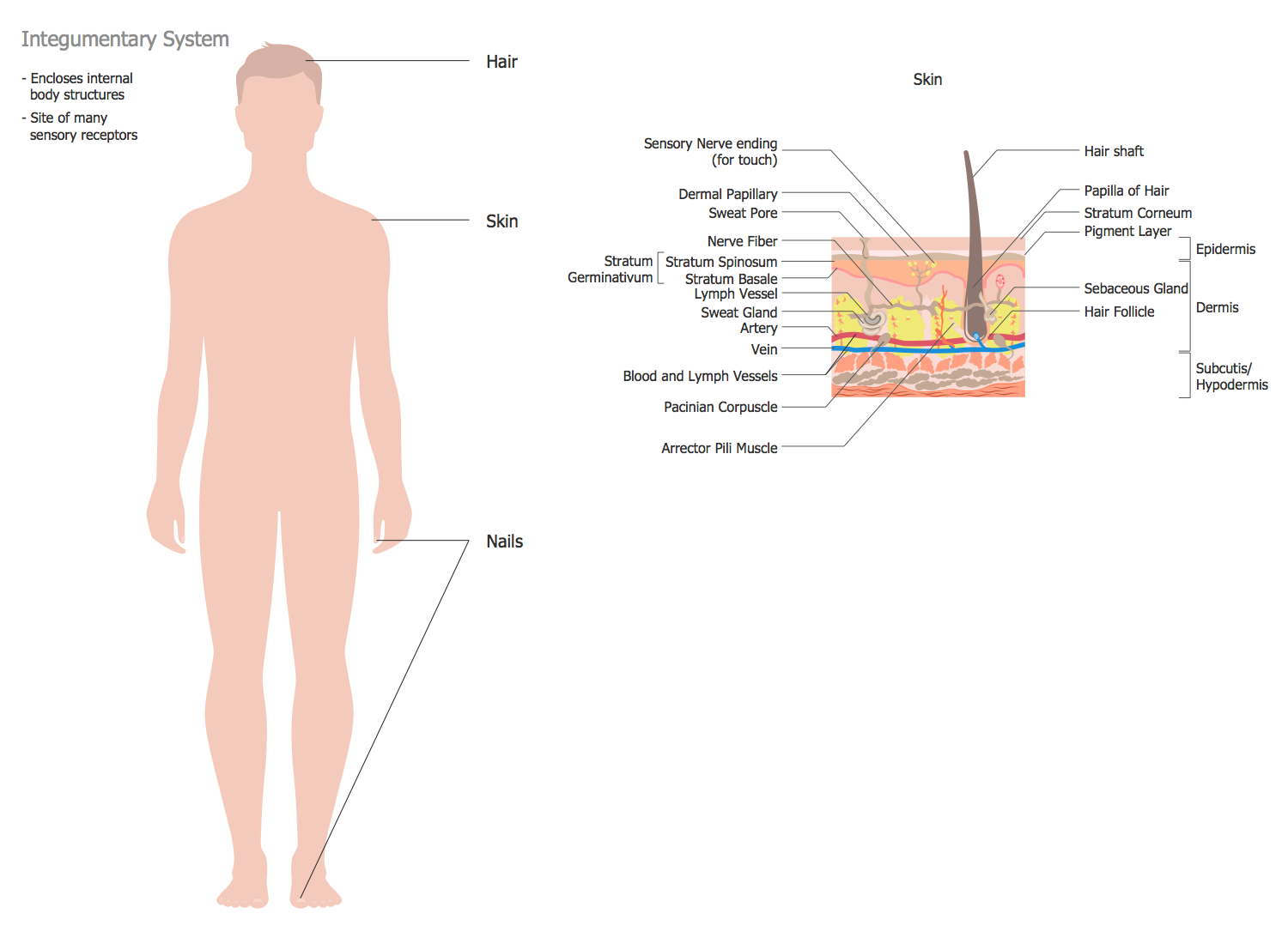 Human anatomy solution conceptdraw human anatomy integumentary system pooptronica