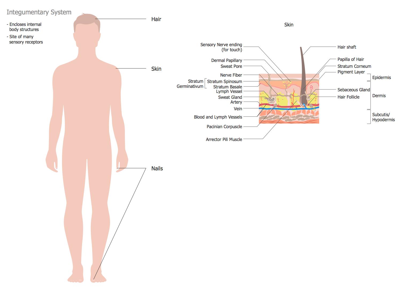 Human Anatomy — Integumentary System