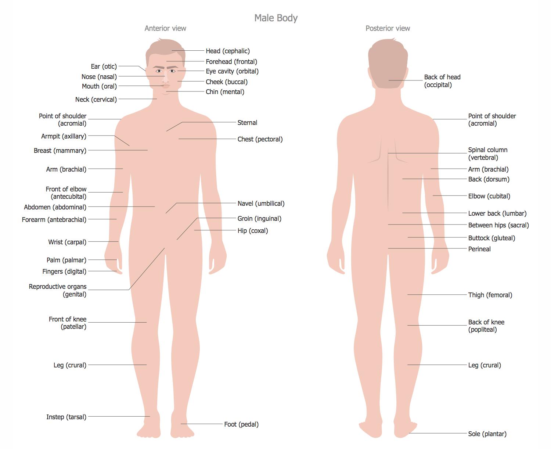 Human Anatomy — Male Body