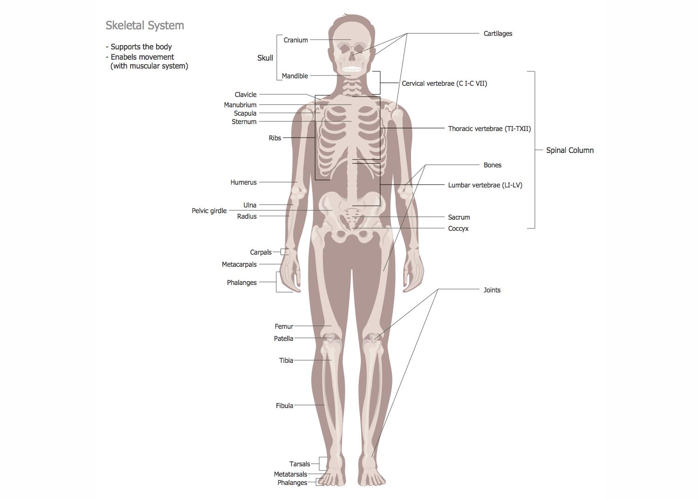 Human Anatomy — Skeletal System